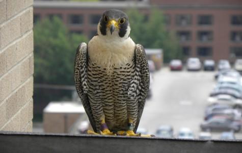 Thunderbolt, the female of the Ann Arbor Peregrine Falcon pair. Photo by Barb Baldinger.