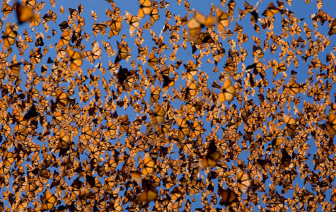 Recent Monarch Migration Brings Worries