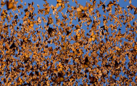 Monarch Butterflies in flight.