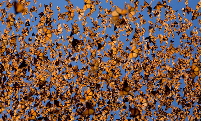 Monarch+Butterflies+in+flight.