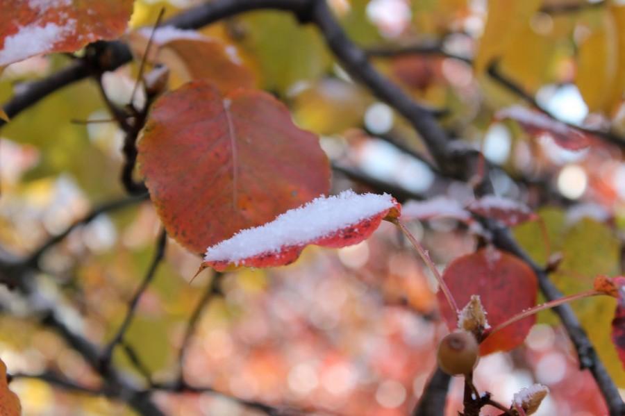 Bradford Pear with Snow