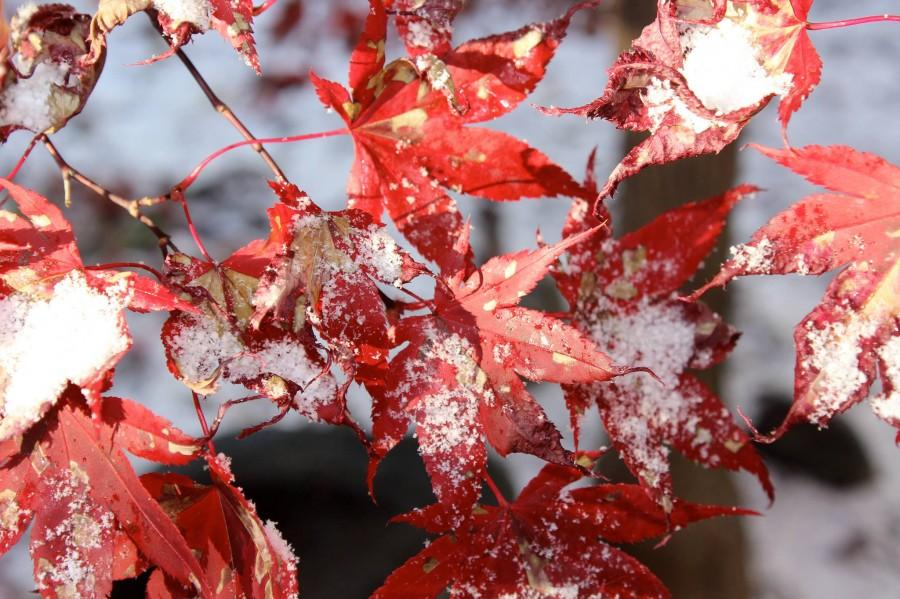 Japanese Maple with Snow