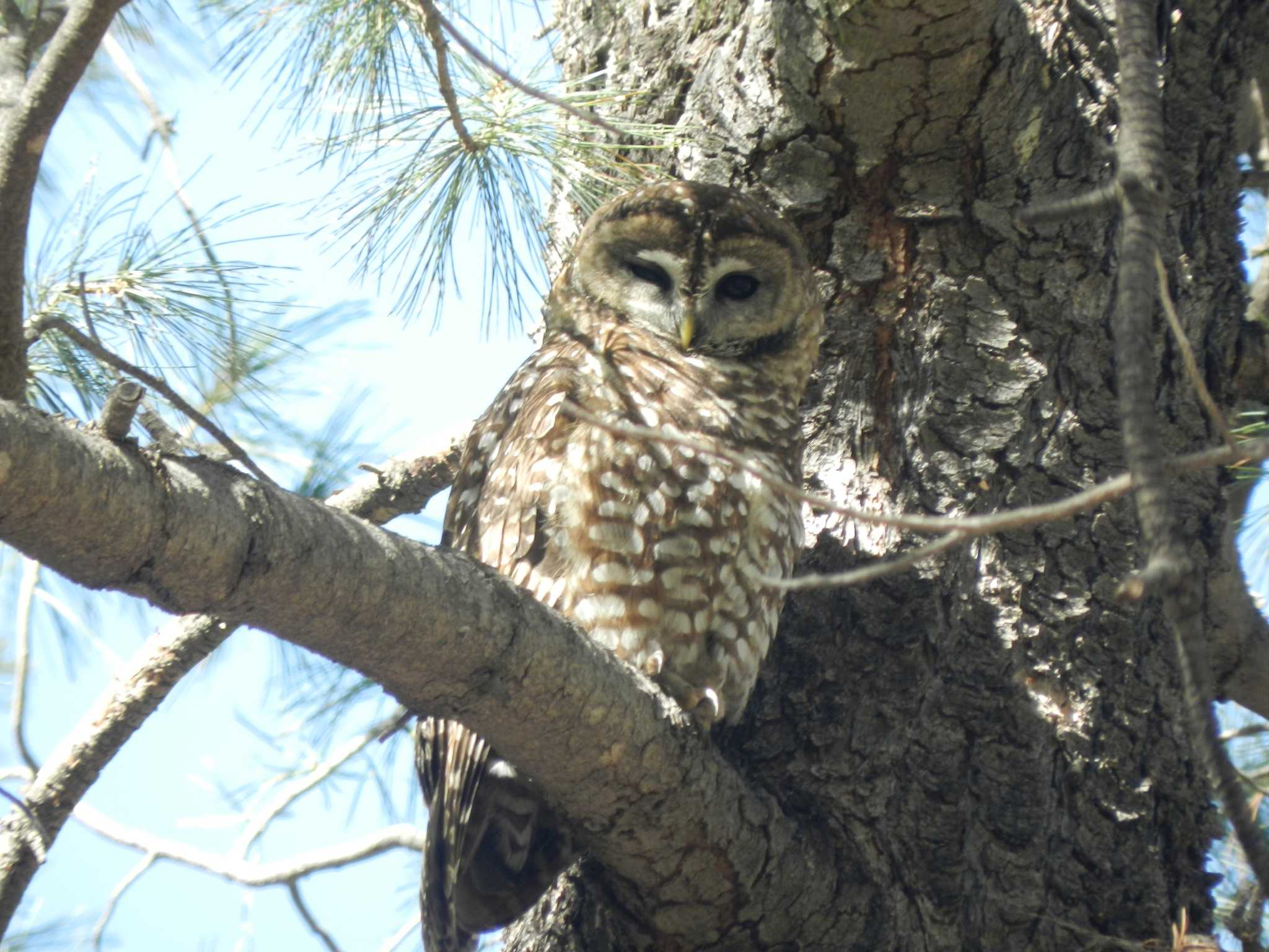 De-extinction could potentially interfere with conservation efforts for the spotted owl.