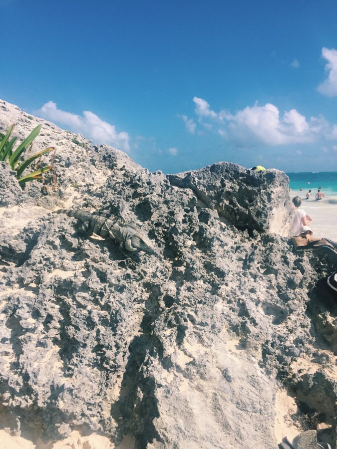 An iguana crawling along some of the rocks found at Tulum Ruinas Mayas beach moments before he snatched a tourists banana from their backpack and ate it.