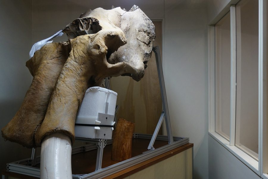 The main focus of the exhibit was the massive Bristle Mammoth skull and tusks. They are on display on the fourth floor of the University of Michigan Museum of Natural History in Ann Arbor, MI.