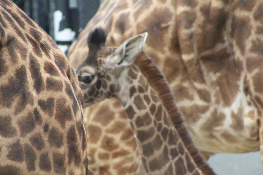 A young giraffe at the Toledo Zoo hiding between her mother and another adult giraffe.