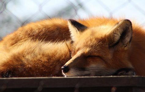 A red fox named Scarlett at Perkins Wildlife Center. She has been with the center since she was a year old and was rescued.