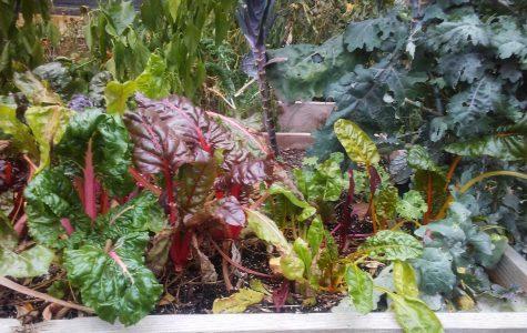 CHS garden final harvest