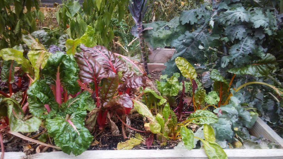 CHS+garden+final+harvest